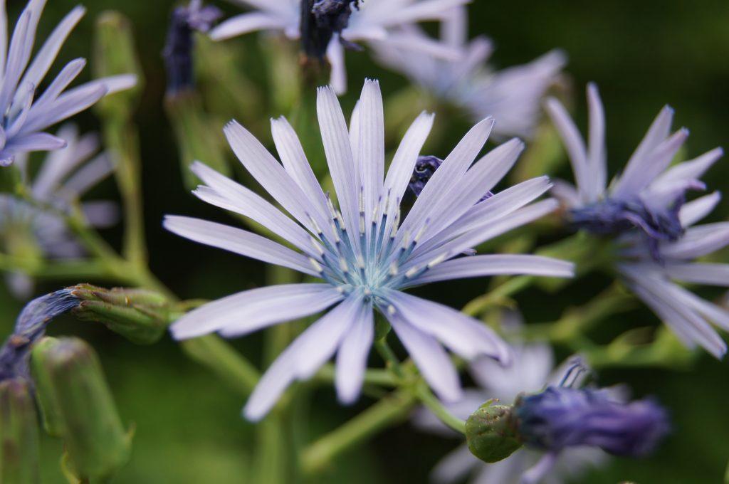prades-planlarge-fleur-mauve-2