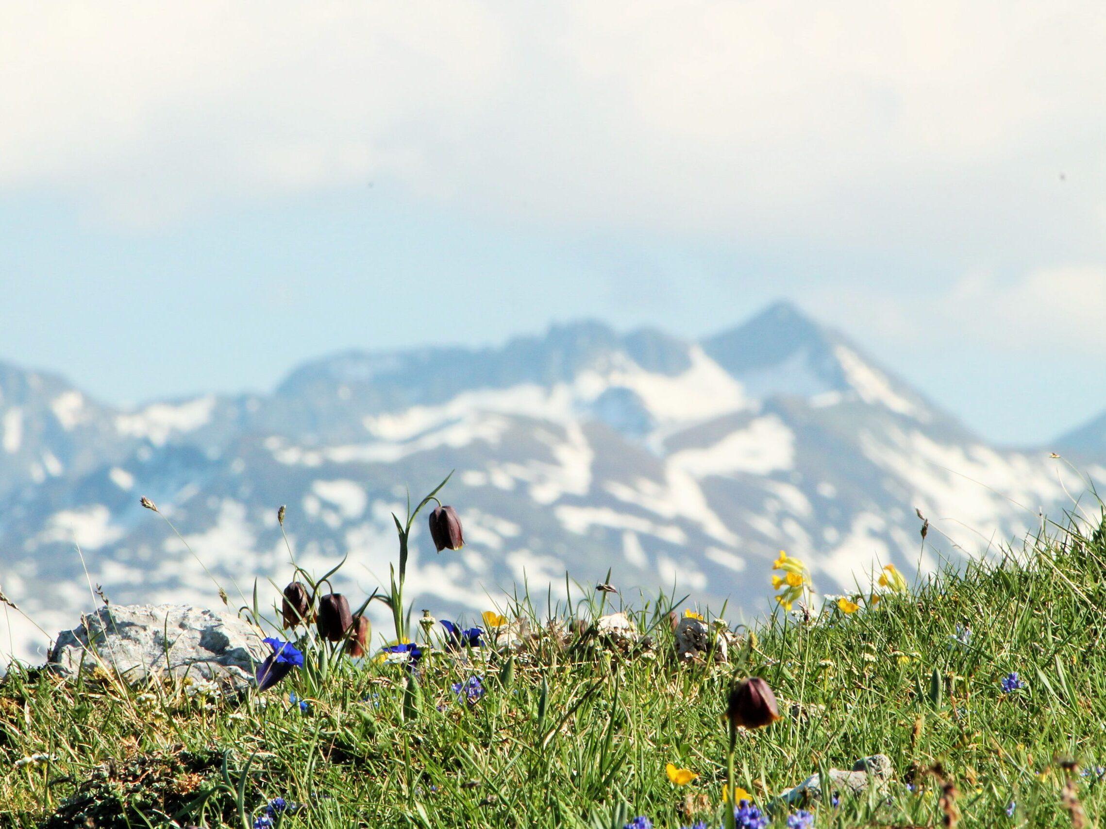 prades-planlarge-tulipes-sauvages