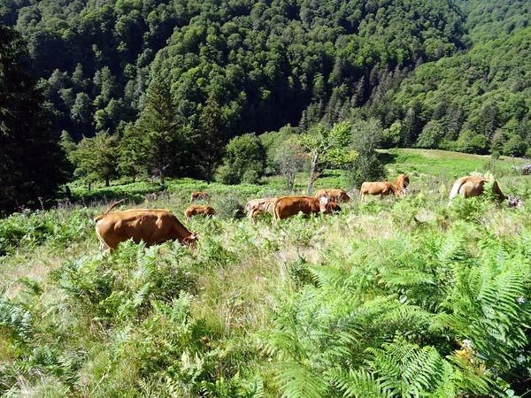 Les vaches aux estives de Prades